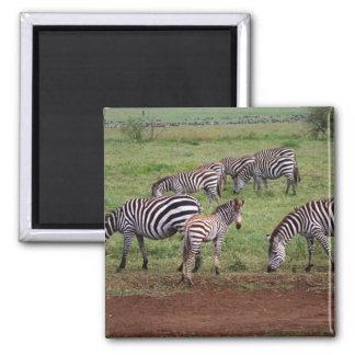 Zebras on the Serengetti Plains, Equus quagga, Square Magnet