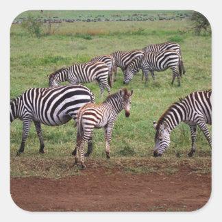Zebras on the Serengetti Plains, Equus quagga, Square Sticker
