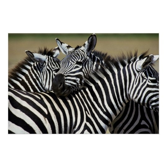 Zebras pack together in a field poster