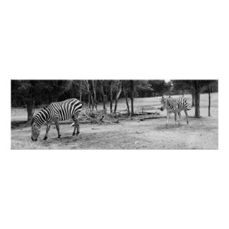 Zebras Photograph Poster