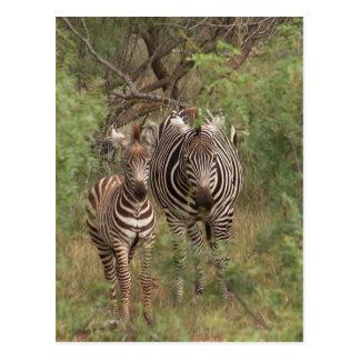 Zebras Postcard