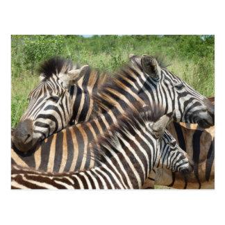 Zebras South Africa Postcard