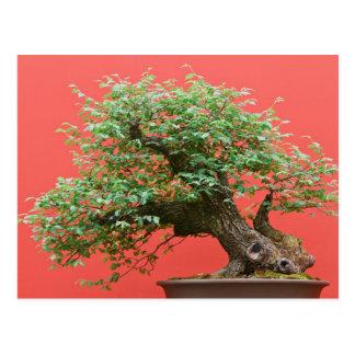 Zelkova bonsai tree postcard