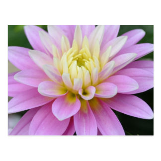 Zen Flower- Dahlia Postcard