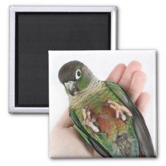 Zeph (green cheek conure) - Magnet 2