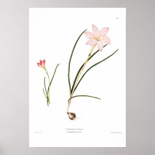 Zephyranthes species poster
