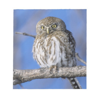 Zimbabwe. Close-up of pearl spotted owl on Notepad