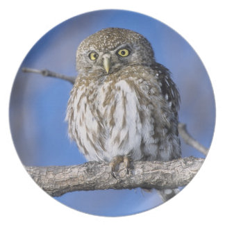 Zimbabwe. Close-up of pearl spotted owl on Plate