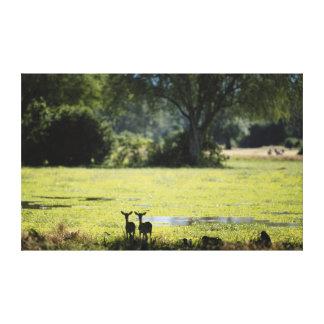 Zimbabwe, Hwange National Park, Impala Stretched Canvas Prints