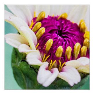 Zinnia in Bloom Poster