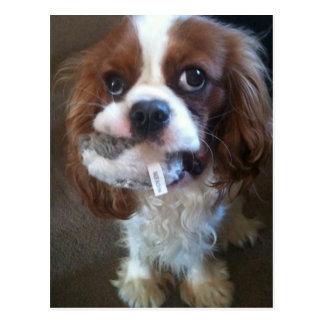 Zonda Blenheim Cavalier Puppy Postcard