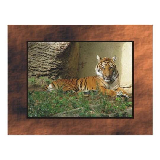 zoo, tiger postcard